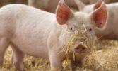 Ціни закупівлі свиней забійних кондицій у другій половині квітня продовжили висхідний рух