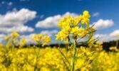 Світовий ринок ріпаку: можливості для України