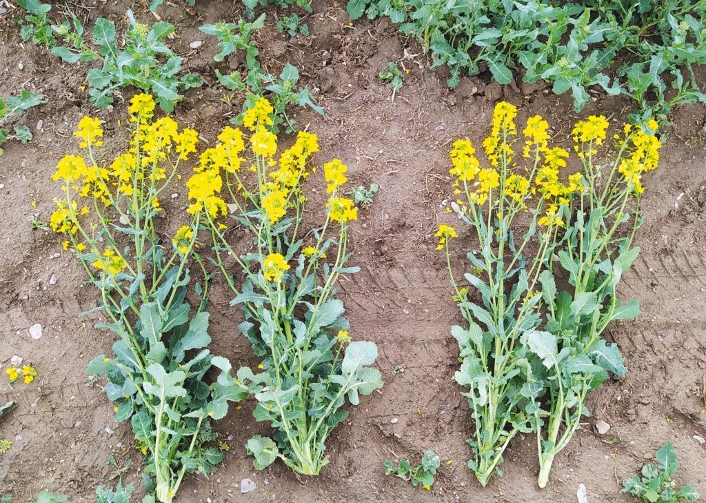Сетар®: регуляція росту та фунгіцидний захист на ріпаку й соняшнику. Ключові аспекти